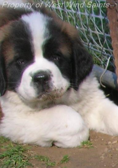Mini St Bernard Rescue Goldenacresdogs Com